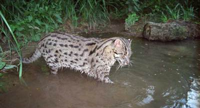 Out of sight, out of mind: Asia's elusive Fishing Cat in trouble