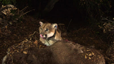 To avoid conflict, L.A. mountain lions choose separate hunting grounds