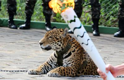 Jaguar Paraded at Olympic Torch Ceremony Shot Dead