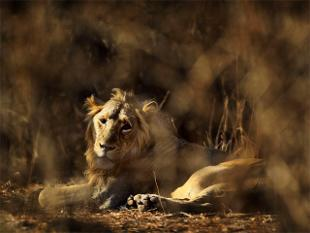 Gujarat swallows its pride, may agree to translocate Gir lions to Kuno Sanctuary