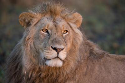 Scientists: Trophy Hunts Should Target Older Lions