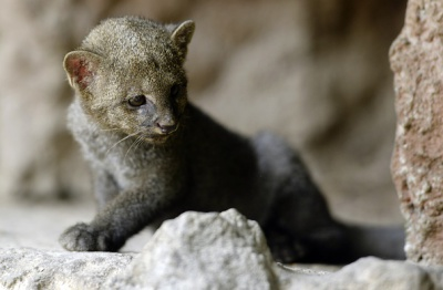 Jaguarundi cats: Habitat destruction and fur trade driving wildcat numbers down