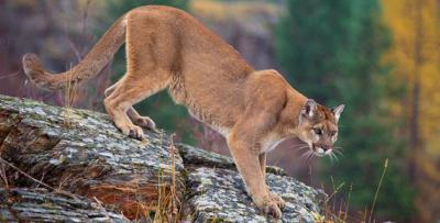 Mountain lion caught on camera in Rawlins County