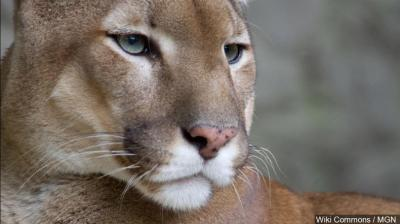 Mountain lion predation and livestock