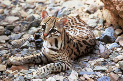 Environmental groups seek to block predator trapping that could harm ocelots