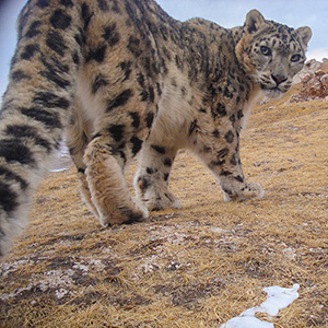 Climate refuges identified for endangered snow leopards