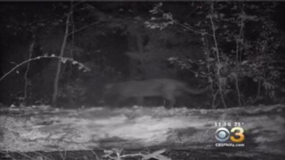 "New Jersey ""mountain lion"" identified as a house cat"