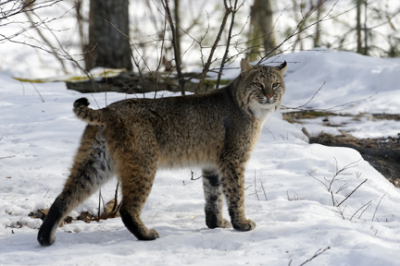 New UNH Bobcat Research Aims to Understand Why Wildcats Are Rebounding