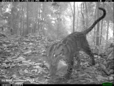 Five rare wild cat species caught on camera in Sumatra