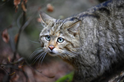 Cat domestication traced to Chinese farmers 5,300 years ago