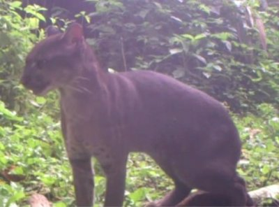 Rare African golden cat caught on camera trap