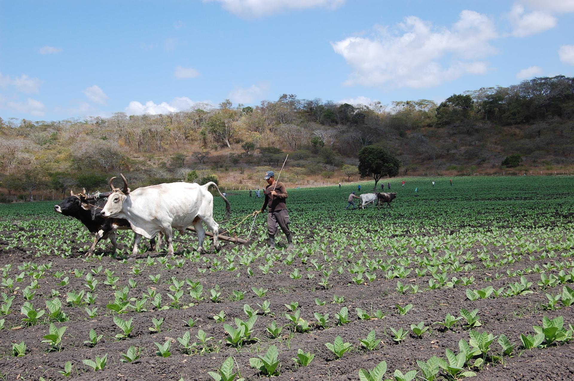 Perdomo Cigar Fields Nicaragua tour