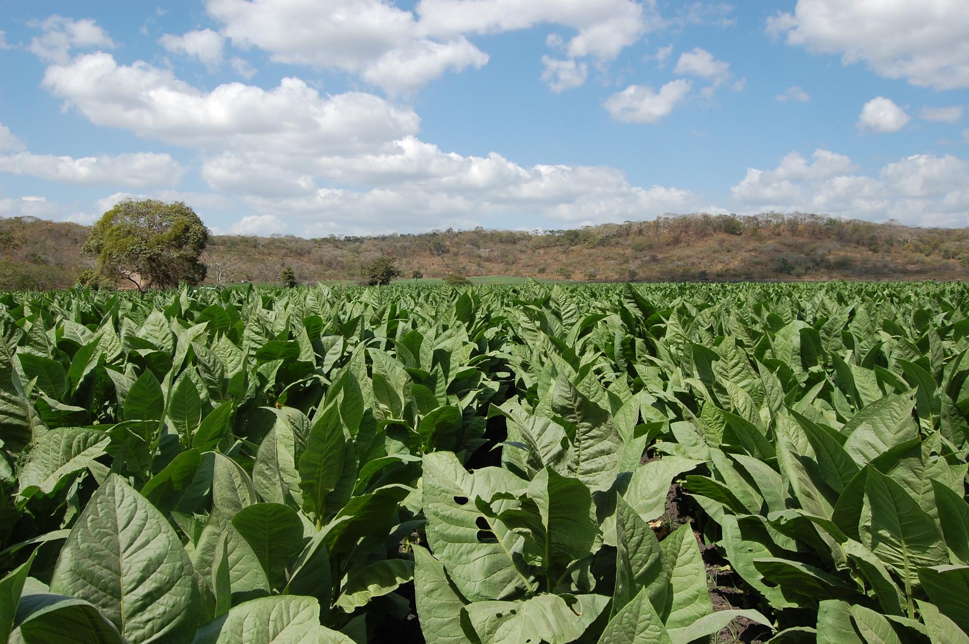 Tobacco Field in Esteli Nicaragua