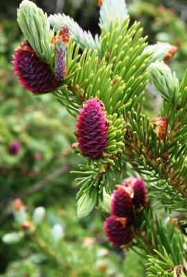 Purple Pine Cones