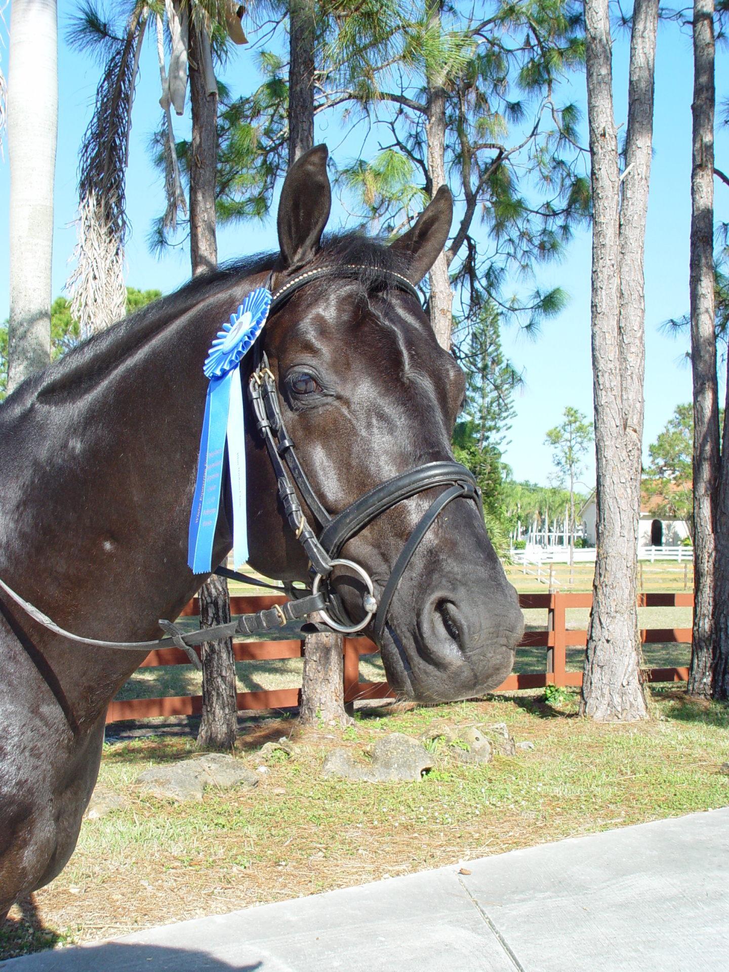 Galando our 6 years stallion.Finalist of the Begian dressage cup last year.Just imported in the USA!