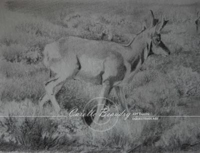 G7-004 Etude Antilope d'Amérique