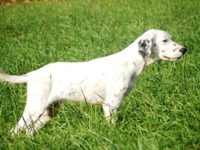 3 Month Setter pup