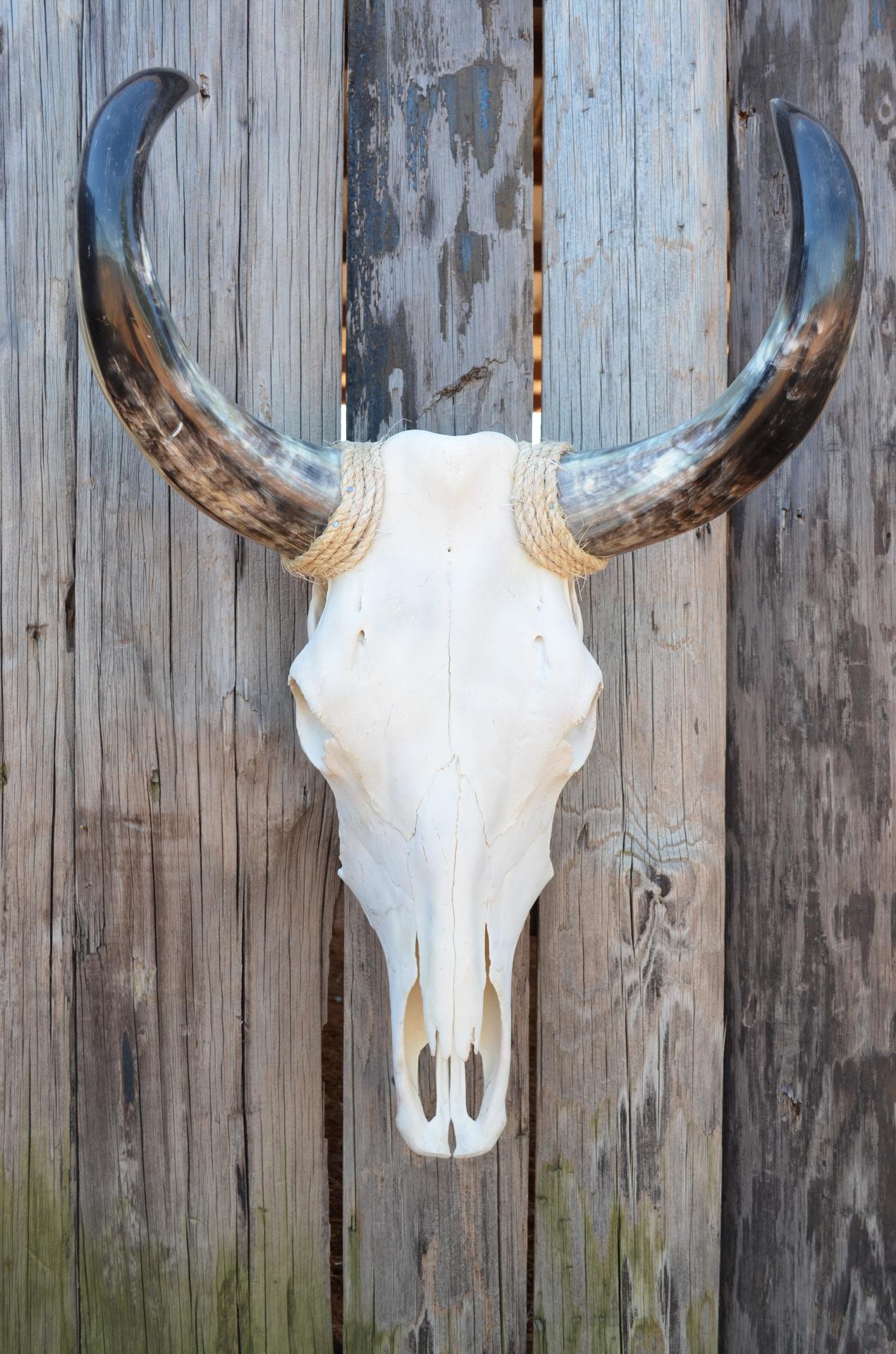 Natural Cow Skull