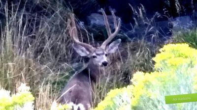 Utah mule deer photo