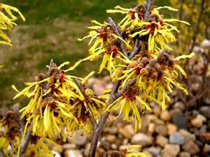 Bewitching Witch Hazel: Ten Enchanting Uses