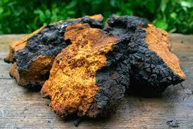 Chaga Mushroom: Funky Fungi Packs Powerful Healing Punch!