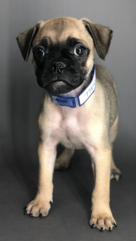 #7784- Female Mini Bulldog (English Bulldog/Pug)