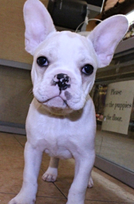 French Bulldog- Post Adoption Update