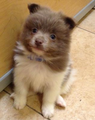 #4915 - Male Pomeranian