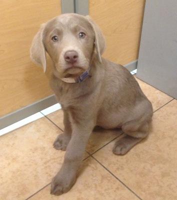#7030 - Female Labrador