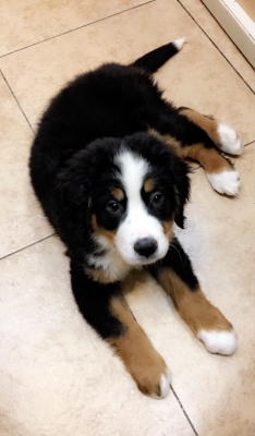 #5832 - Female Bernese Mountain Dog