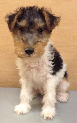 #4864 - Male Wire Fox Terrier
