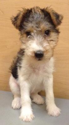 #4866 - Female Wire Fox Terrier