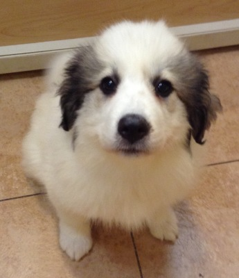 #4804 - Female Great Pyrenees