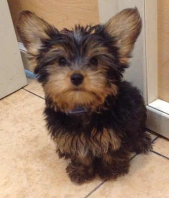 #4862 - Male Yorkshire Terrier