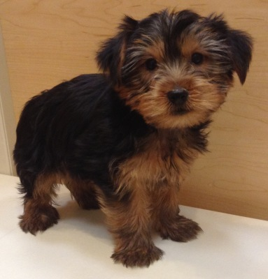 #4870 - Male Yorkshire Terrier