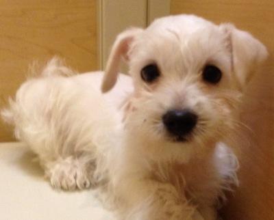 #9771 - Female Schnoodle (Miniature Schnauzer-Poodle)