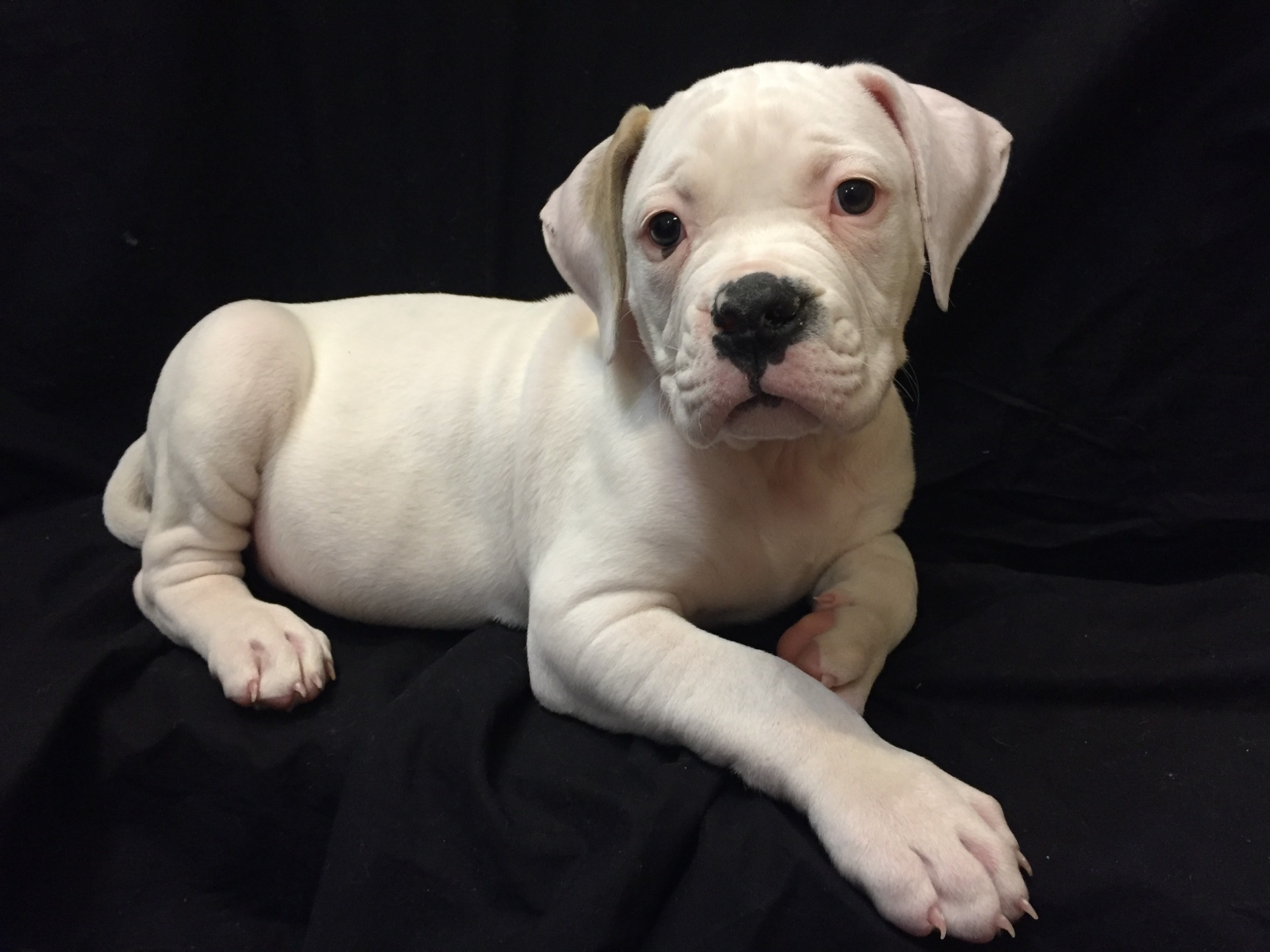 #4763 - Male American Bulldog