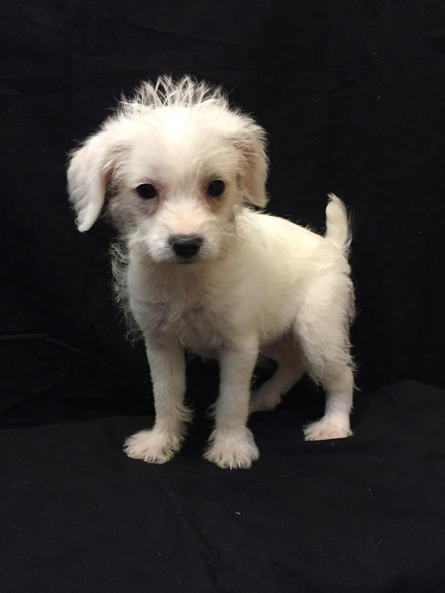 #4762 - Female  Chi-Poo (Chihuahua/Poodle)