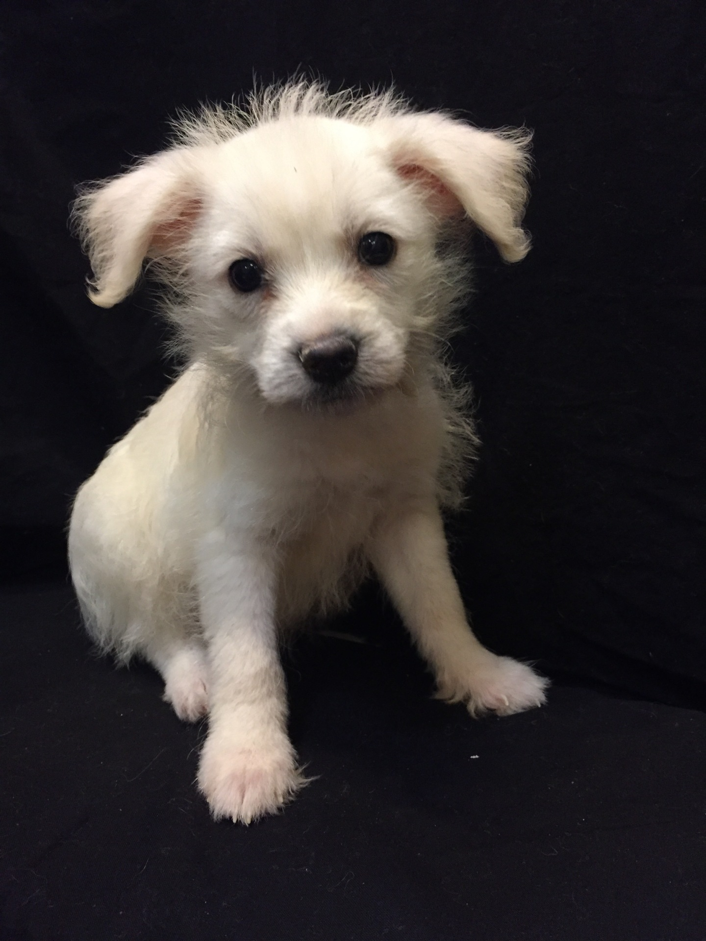 #4758 - Female Chi-Poo (Chihuahua/Poodle)