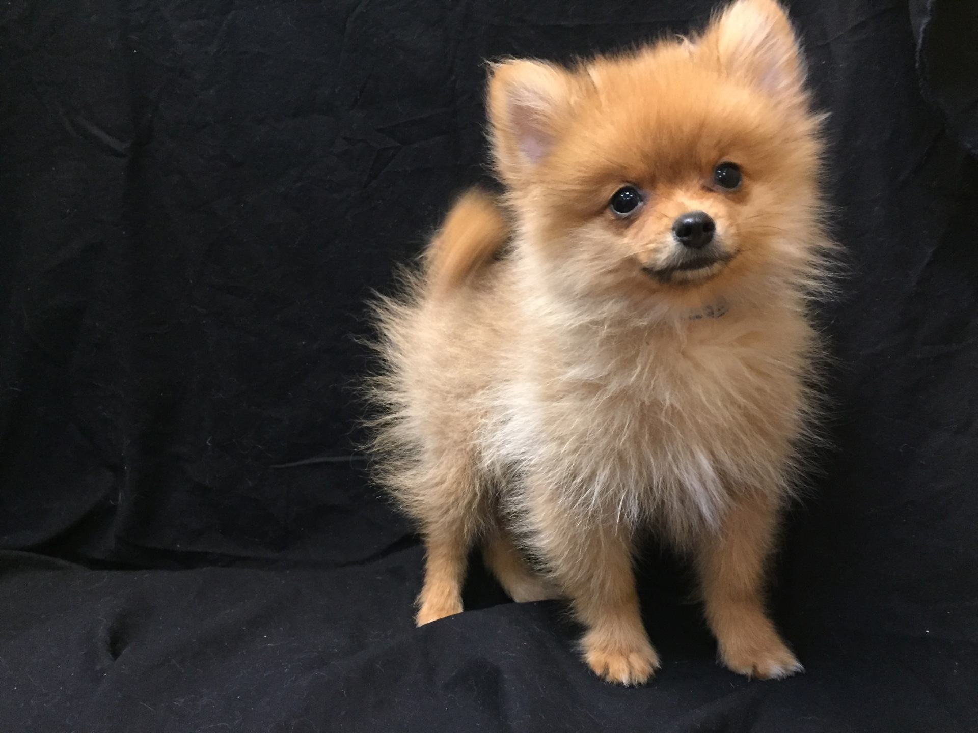 #1617 - Male Pomeranian