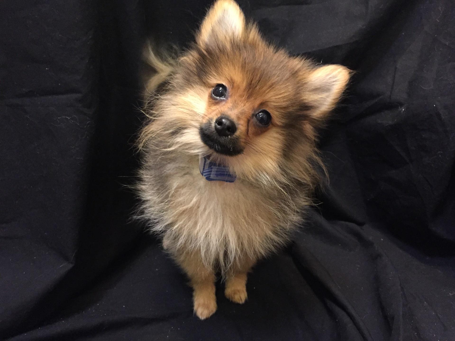 #1359 - Male Pomeranian