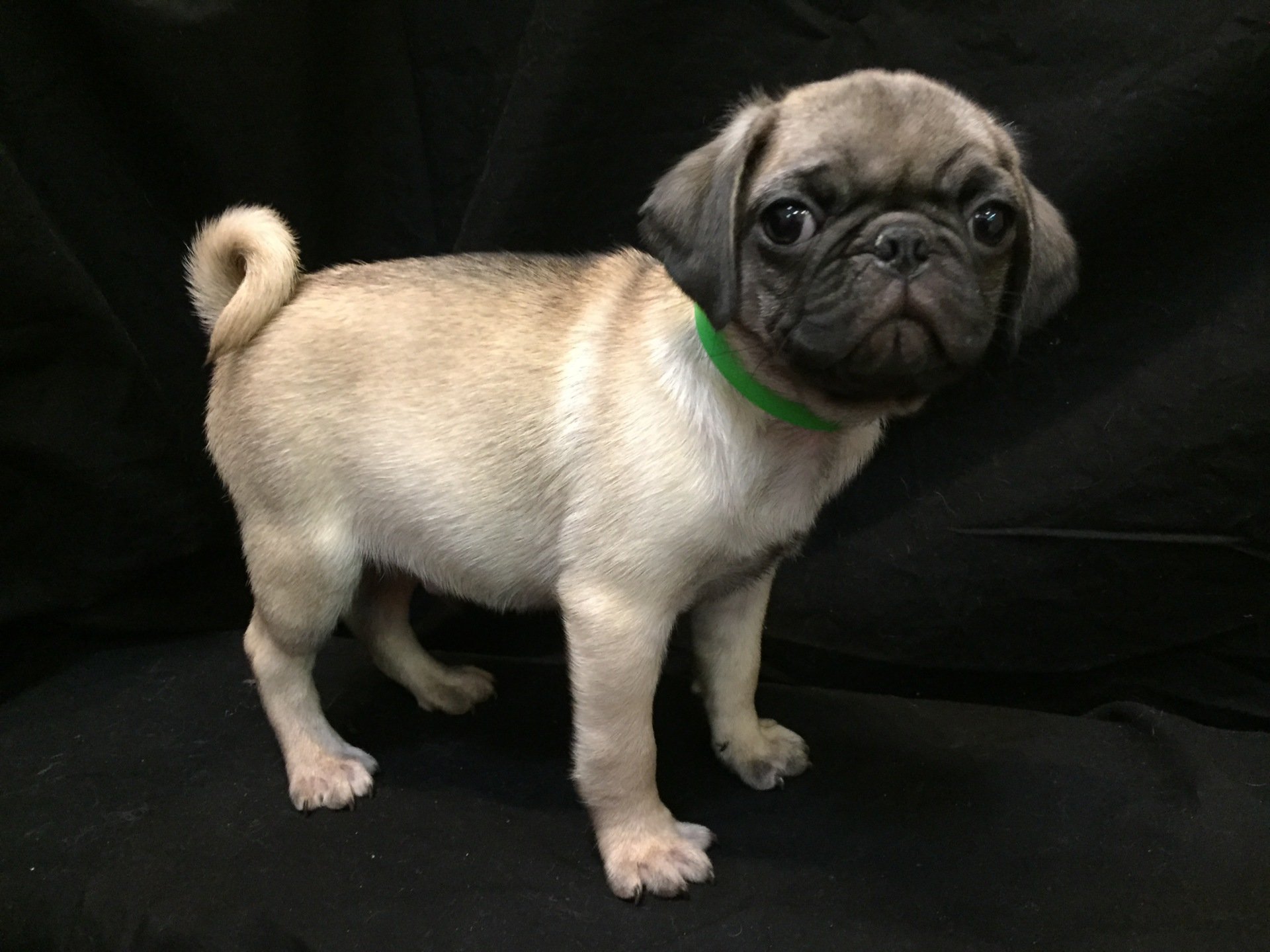 #4839 - Male Pug