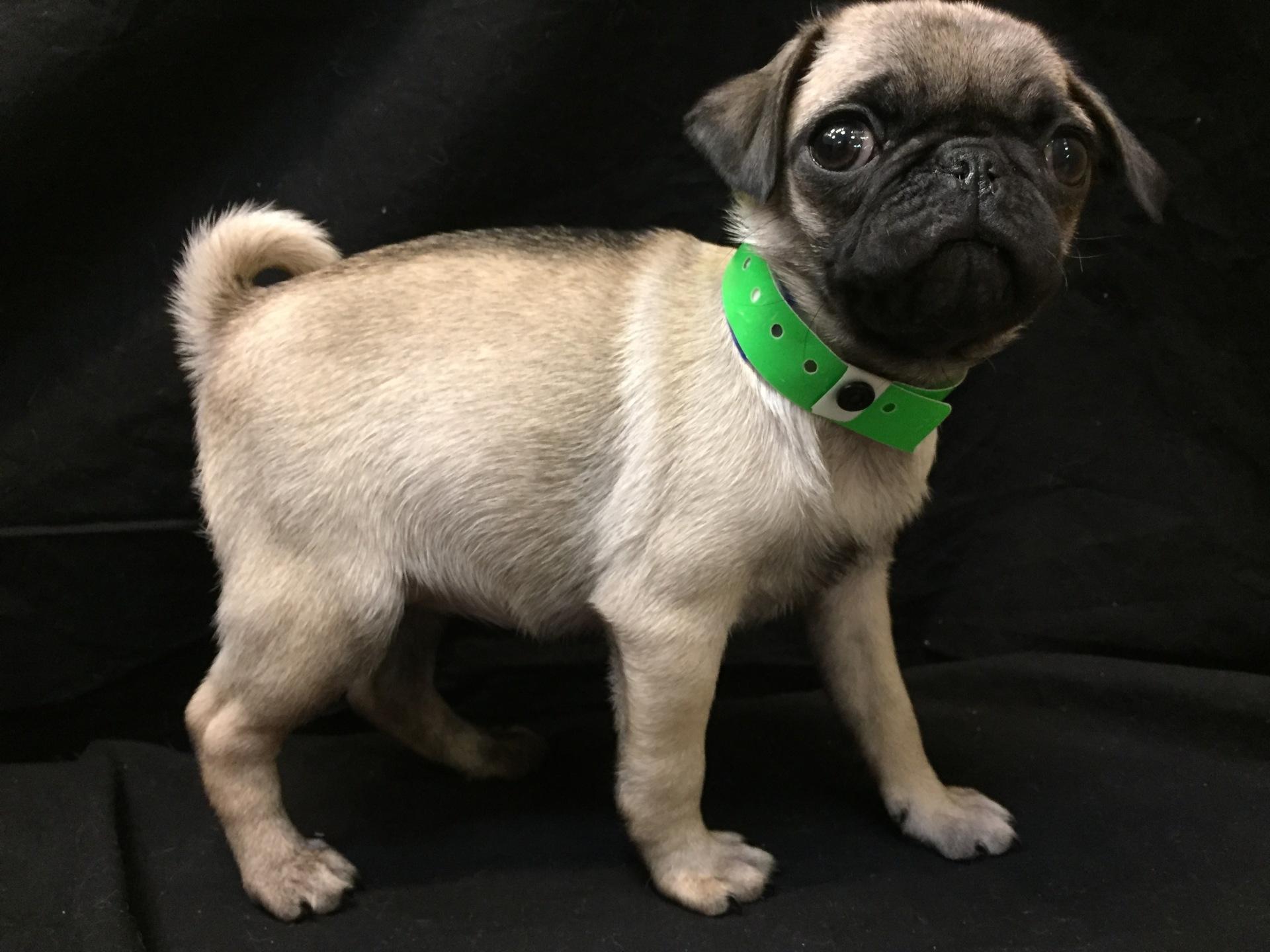#4836 - Female Pug