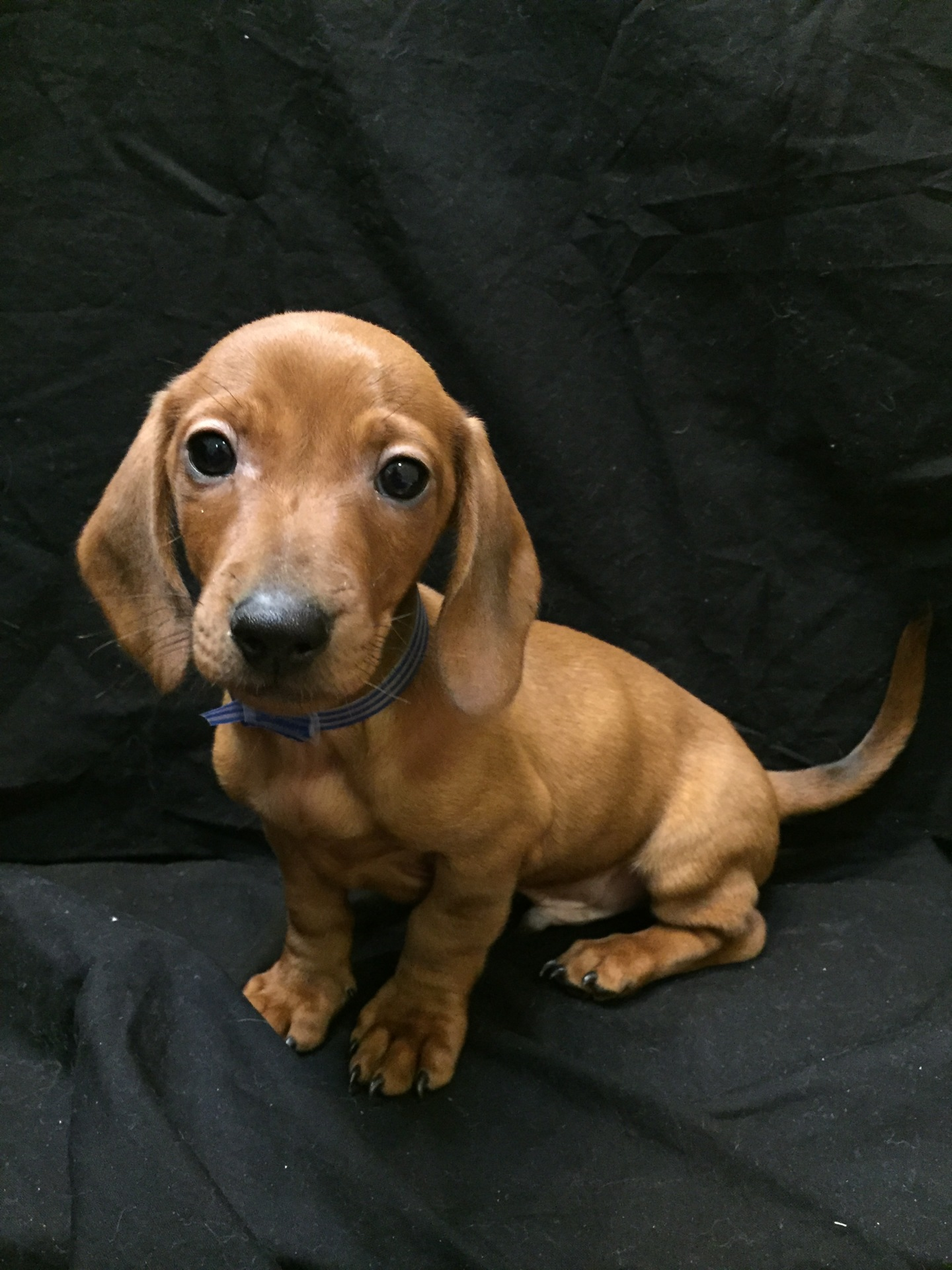 #4756 - Male Dachshund (mini)