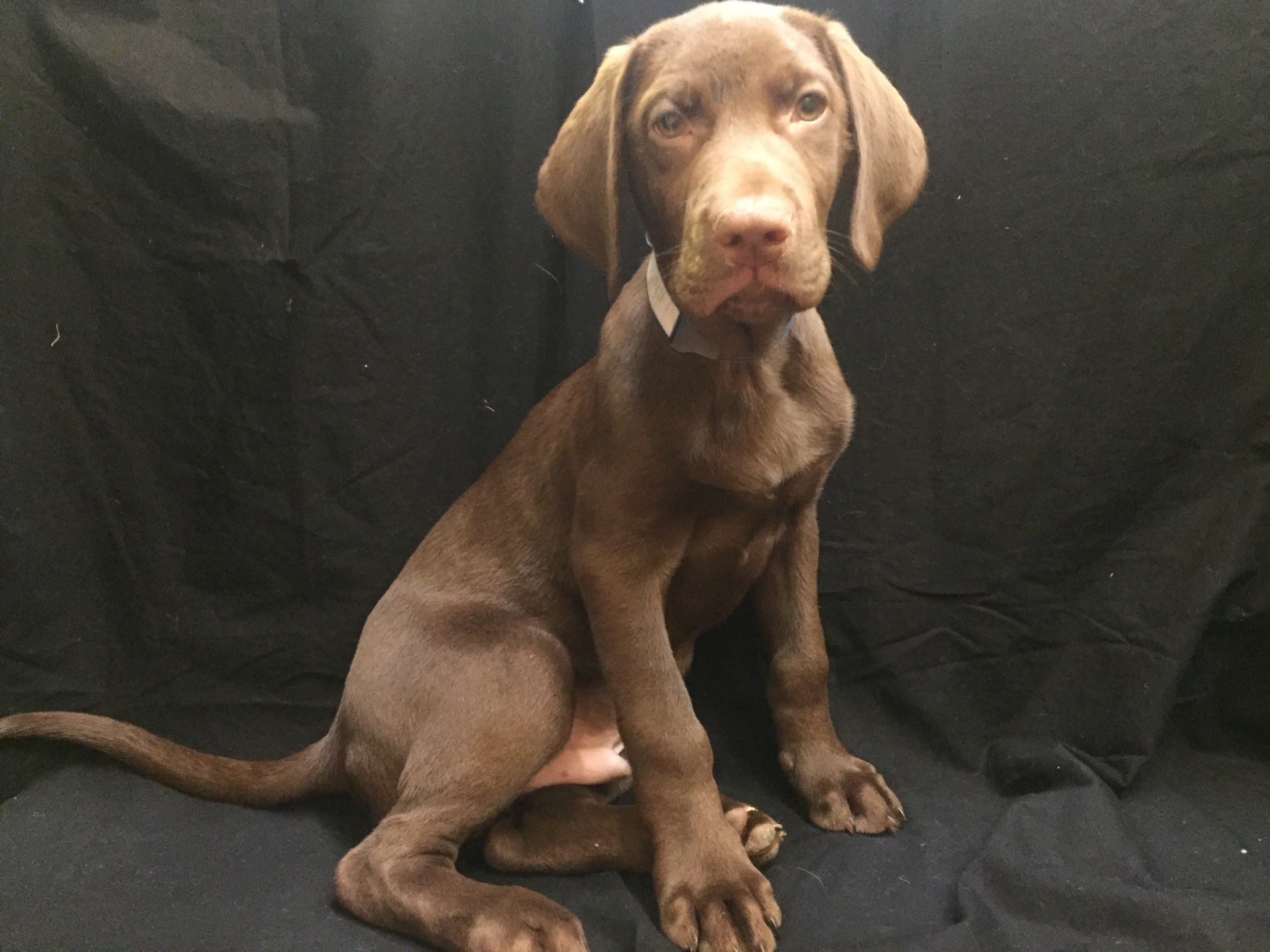 #1139 - Male Labrador