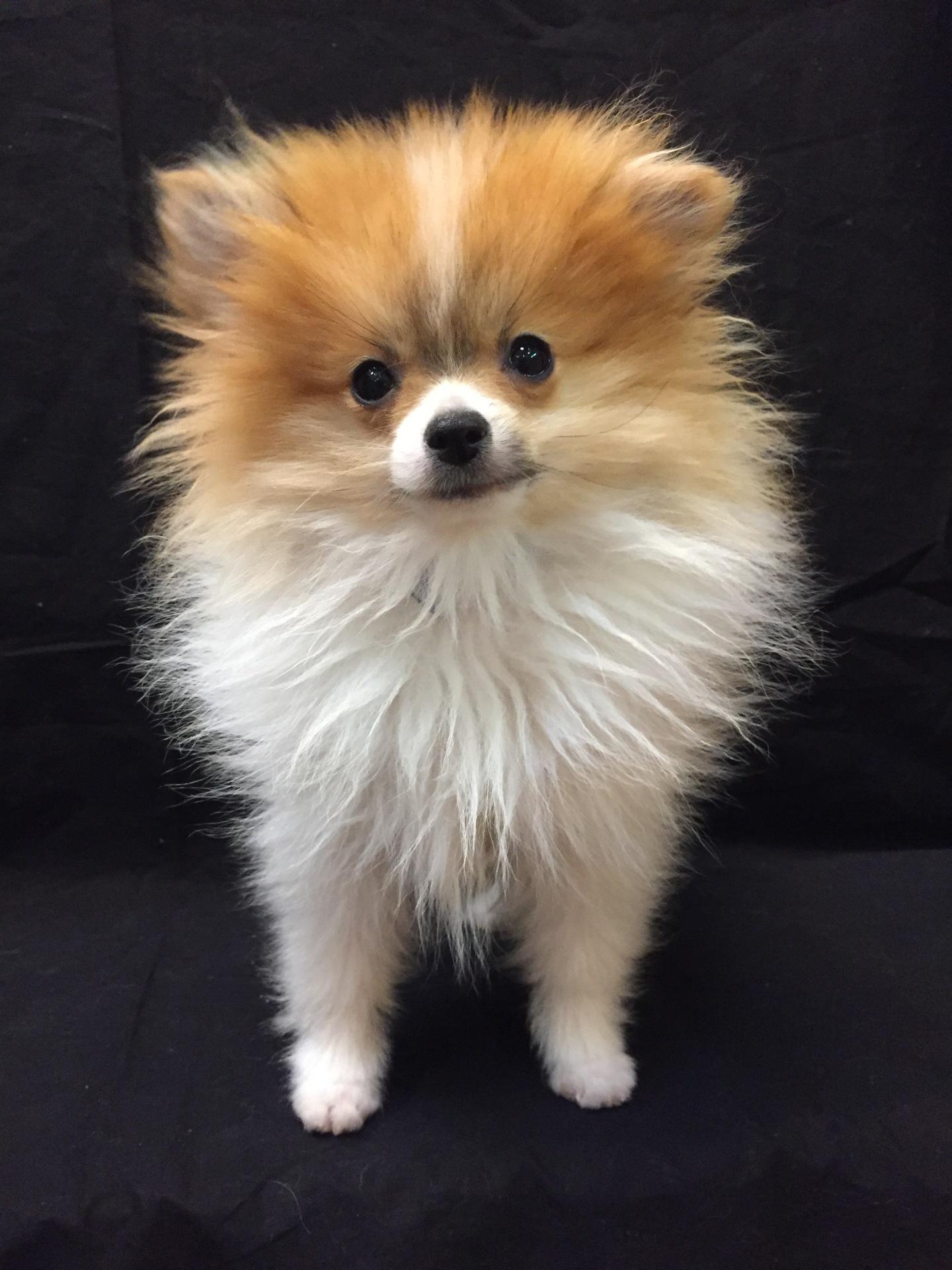 #1410 - Male Pomeranian