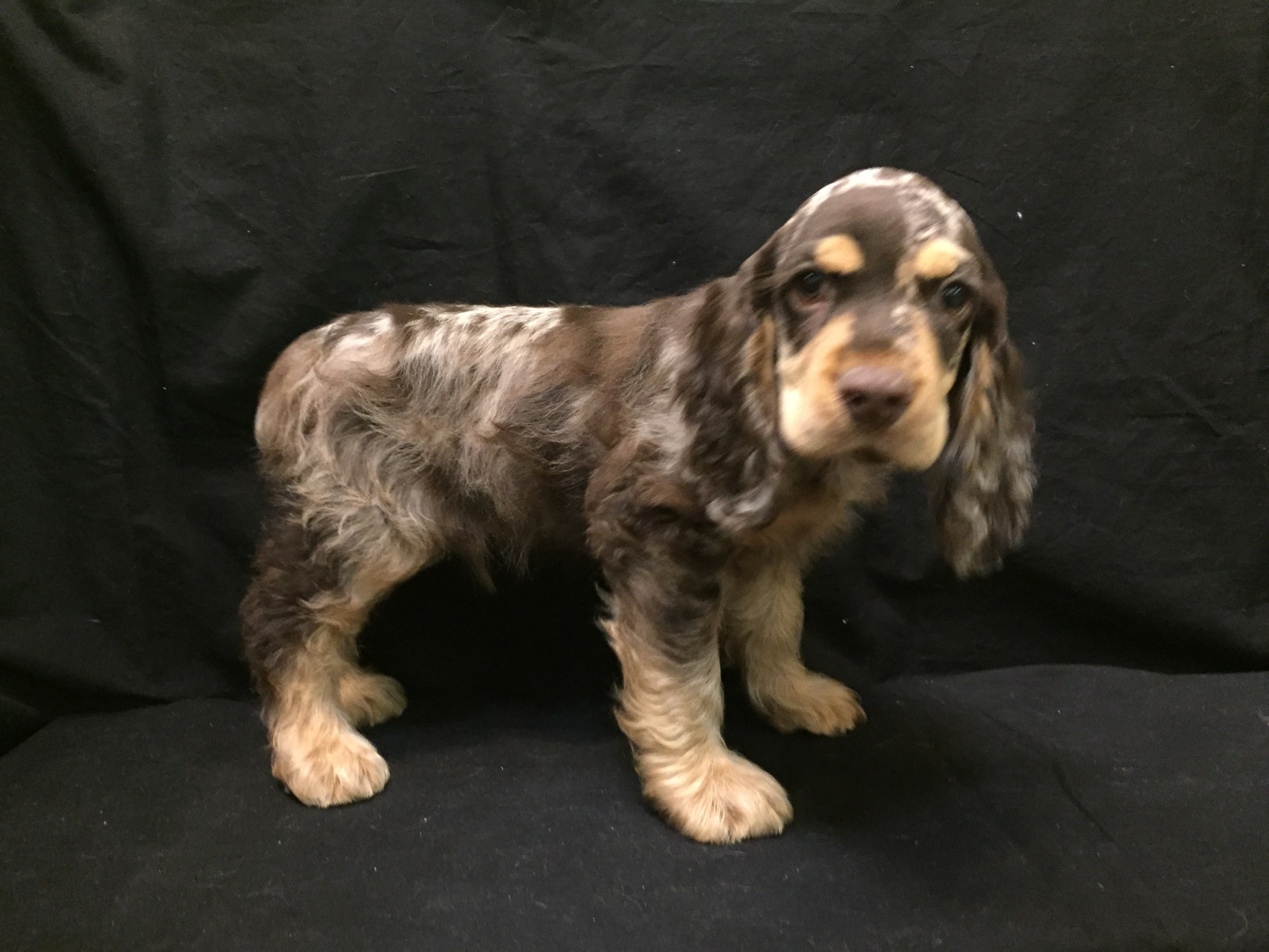 #4818 - Male Cocker Spaniel