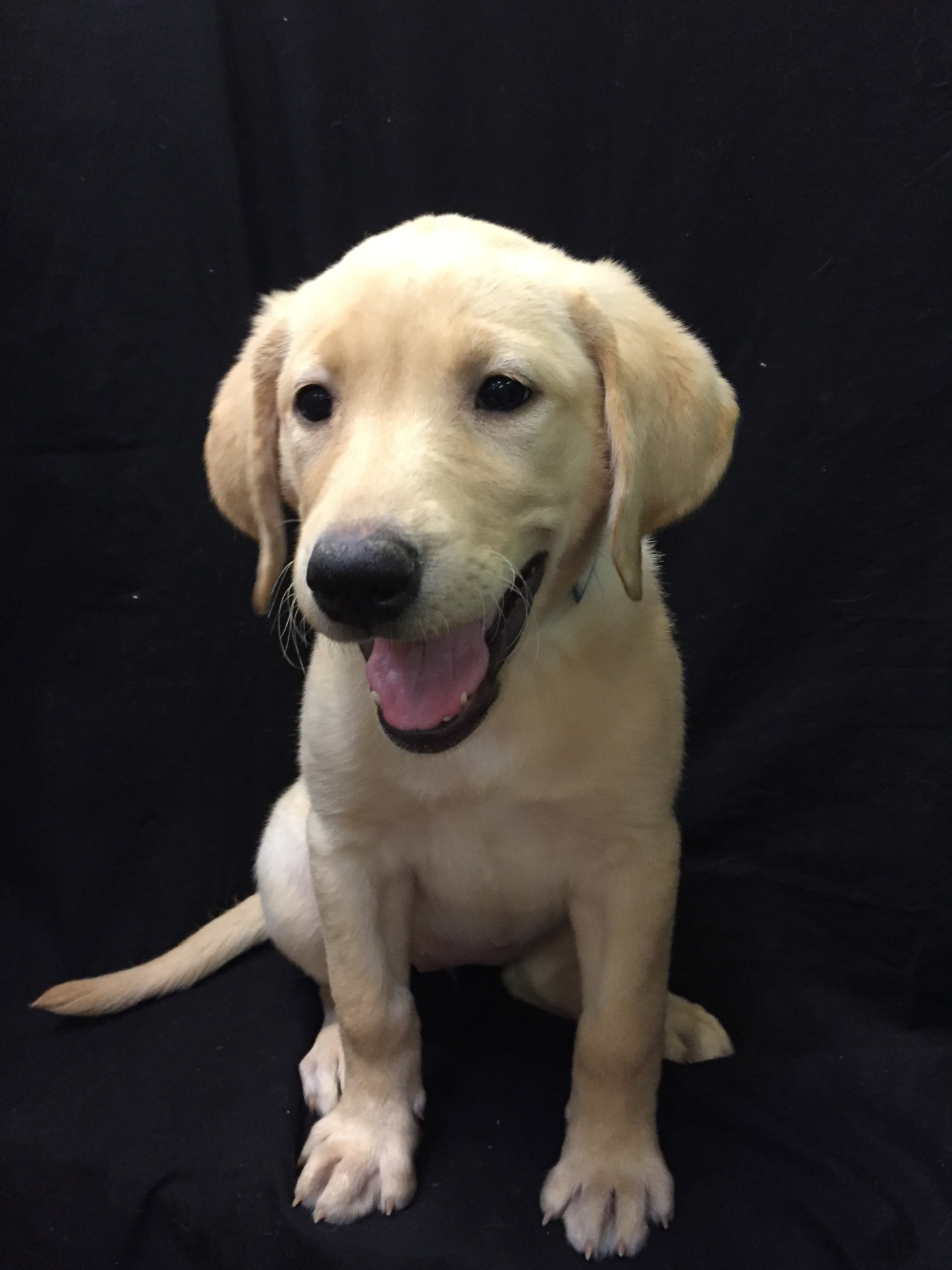 #1699 - Female Labrador
