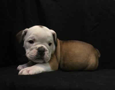 #8618 - Male English Bulldog
