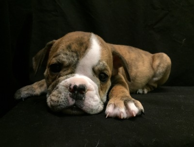 #8619 - Female English Bulldog